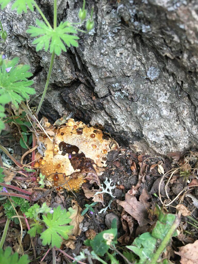 Tårticka, Pseudoinonotus dryadeus. Foto: Anne-Karin Mikonaho
